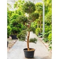Подокарпус (Многоплодник) macrophyllus branched/multi кронаs (250-280) Диаметр горшка — 60 см Высота растения — 275 см