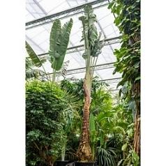 Равенала мадагаскарская стебель Диаметр горшка — 120 см Высота растения — 900 см