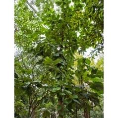 Terminalia catappa стебель Диаметр горшка — 110 см Высота растения — 850 см