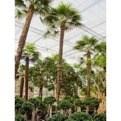 Трахикарпус Форчуна стебель (675) Диаметр горшка — 140 см Высота растения — 975 см