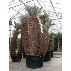 Тритринакс campestris стебель 3pp Диаметр горшка — 140 см Высота растения — 600 см
