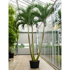 Пальма Вейчия Адонидия merrillii 3-стебель Диаметр горшка — 85 см Высота растения — 550 см