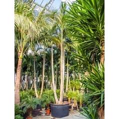 Пальма Вейчия Адонидия merrillii 3-стебель Диаметр горшка — 120 см Высота растения — 700 см