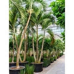 Пальма Вейчия Адонидия merrillii 3-стебель Диаметр горшка — 110 см Высота растения — 600 см