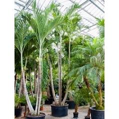 Пальма Вейчия Адонидия merrillii 4-стебель Диаметр горшка — 110 см Высота растения — 600 см