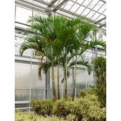 Пальма Вейчия Адонидия merrillii 5-6-стебель Диаметр горшка — 95 см Высота растения — 550 см