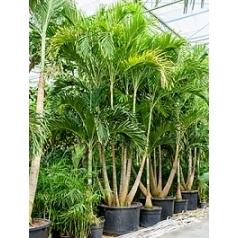 Пальма Вейчия Адонидия merrillii 5-6-стебель Диаметр горшка — 110 см Высота растения — 500 см