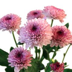 Хризантема Зембла Спрей Лоллипоп розовая
