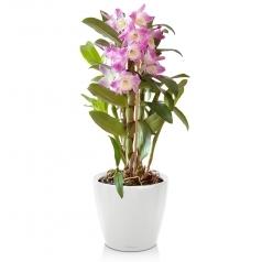 Орхидея Дендробиум + CLASSICO LS 21