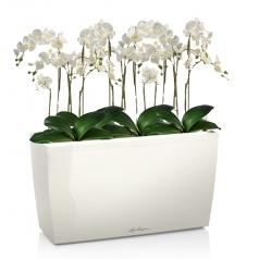 Орхидея Фаленопсис + CARARO