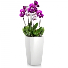 Орхидея Фаленопсис + CUBICO 22