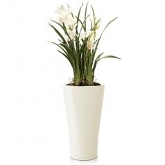 Орхидея Цимбидиум + DELTA 30