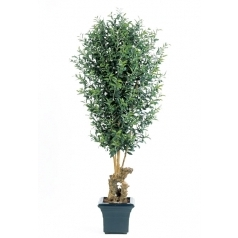 Оливковое дерево на коряге с плодами