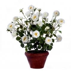 Роза белая Куст в кашпо