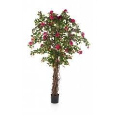 Бугенвилия Лиана с цветами, бордо