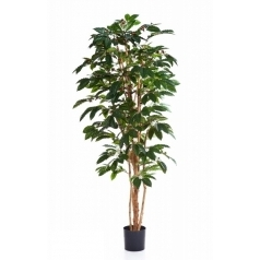 Кофейное дерево с цветами
