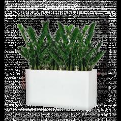 Замиокулкас + Lux Дивайдер средний, белое