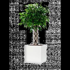 Фикус Бенжамина Экзотика Цилиндр + Lux Куб, белое