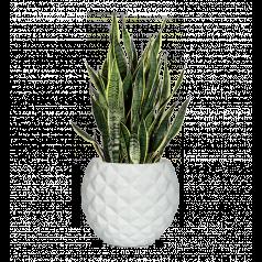 Сансевиерия + Nature Чаша, белый
