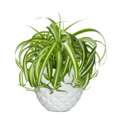 Хлорофитум + Nature Чаша, белый