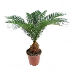 Пальма Цикас