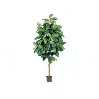 Фикус Эластика зеленый